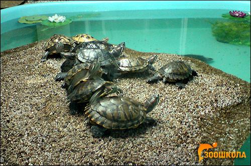 Красноухие черепахи (Trachemys scripta), Фото фотография картинка рептилии