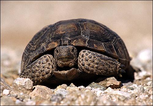 Черепаха, Фото фотография картинка рептилии
