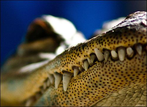 Зубы крокодила, Фото фотография рептилии картинка