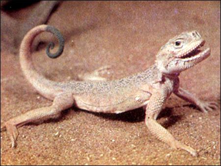 Ушастая круглоголовка (Phrynocephalus mystaceus), Фото фотография картинка ящерицы рептилии
