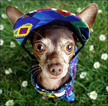 Чихуахуа в одежде, Фото фотография собаки картинка