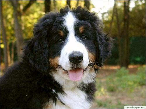 Щенок бернского зенненхунда, Фото фотография собаки картинка