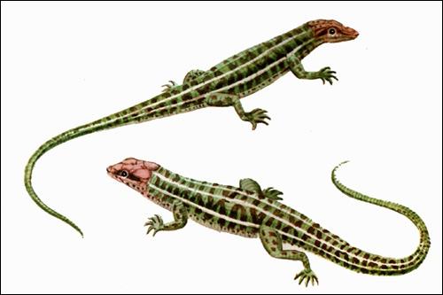 Живородящая ящерица (Lacerta vivipara), Рисунок картинка рептилии
