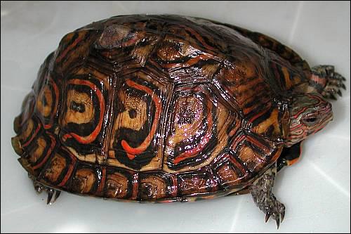 Разукрашенная лесная черепаха (Rhinoclemmys pulcherrima), Фото фотография картинка рептилии