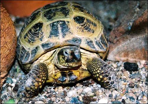 Степная черепаха, среднеазиатская черепаха (Agrionemys horsfieldi), Фото фотография картинка рептилии