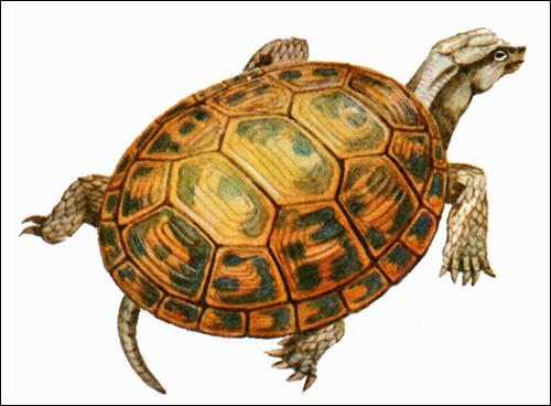 Средиземноморская черепаха (Testudo graeca), Картинка рисунок рептилии