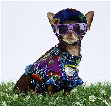 Чихуахуа в одежде и очках чихуа, Фото фотография собаки картинка