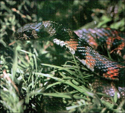 Тигровый уж (Rhabdophis tigrina), Фото фотография картинка рептилии змеи
