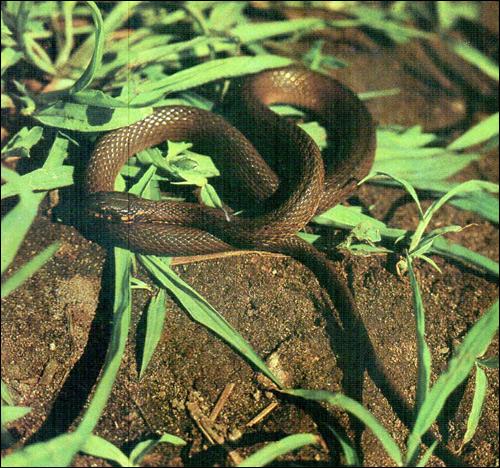 Японский уж (Amphiesma vibakari), Фото фотография картинка рептилии змеи