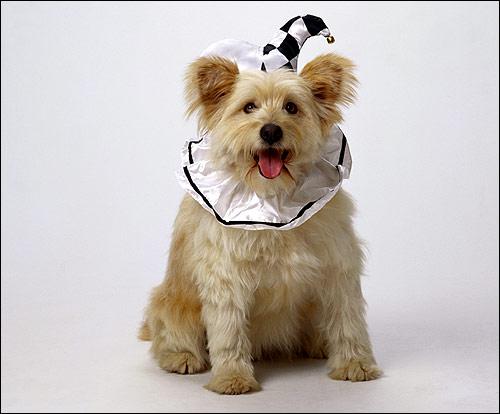 Собака в костюме клоуна, Фото фотография собаки картинка