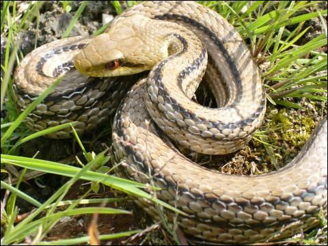 Малочешуйчатый полоз (Elaphe quadrivirgata), Фото фотография картинка рептилии змеи