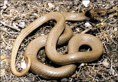 Ошейниковый эйренис (Eirenis collaris), Фото фотография картинка рептилии змеи