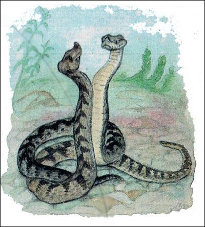 Носатая  гадюка - самцы (Vipera ammodytes), Картинка рисунок рептилии змеи