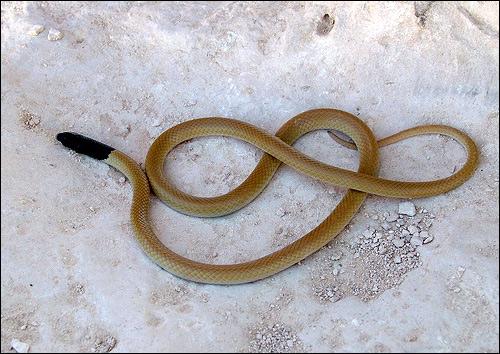 Черноголовый рипхокаламус (Rhynchocalamus melanocephalus), Фото фотография картинка рептилии змеи