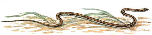 Стрела-змея (Psammophis lineolatus), Картинка рисунок рептилии змеи