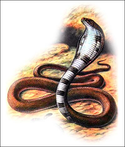 Среднеазиатская кобра (Naja oxiana), Рисунок картинка рептилии змеи