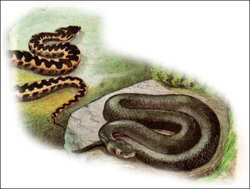 Кавказская гадюка, гадюка Казнакова - разные окрасы (Vipera kaznakovi), Рисунок картинка рептилии змеи