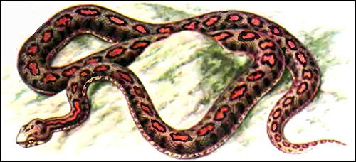 Малоазиатская гадюка, турецкая гадюка (Vipera xanthina), Рисунок картинка рептилии змеи