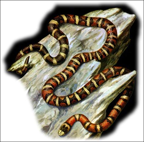 Королевская горная змея (Lampropeltis pyromelana), Рисунок картинка рептилии