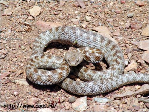 Кошачья змея (Telescopus), Фото фотография картинка рептилии