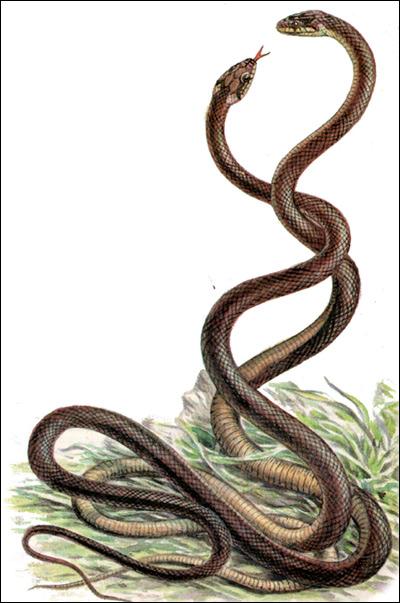 Эскулапова змея, или эскулапов полоз (Elaphe longissima), Рисунок картинка рептилии