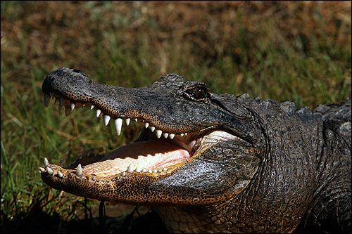 Крокодил с открытой пастью, Фото фотография рептилии
