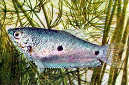 Пятнистый гурами (Trichogaster trichopterus), Фото фотография