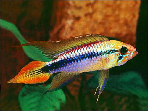 Красивая рыбка, Фото фотография картинка