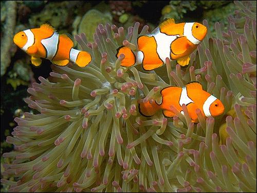 Амфиприон-клоун, клоун-перкула (Amphiprion percula), Фото фотография рыбы