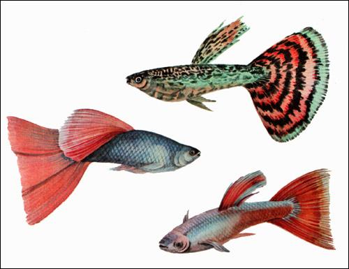 Гуппи - самцы (Poecilia reticulata), Рисунок картинка рыбы
