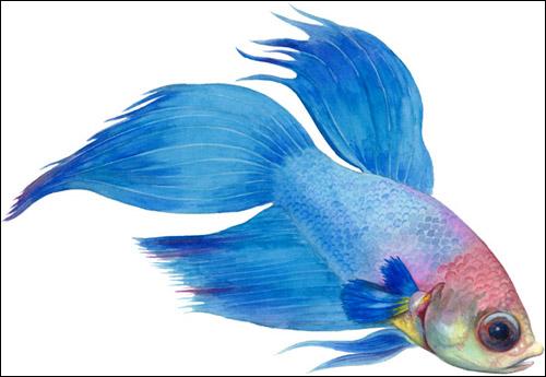 Петушок, бойцовая рыбка (Betta splendens), Рисунок картинка