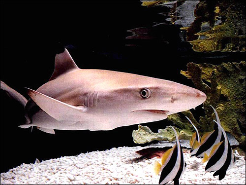 Акула, Фото фотография картинка рыбы