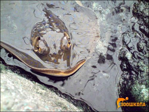 Скат, выглядывающий из воды, Фото фотография картинка рыбы