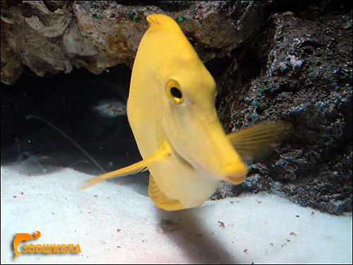 Желтый хирург, зебрасома парусная желтая (Zebrasoma flavescenc), Фото фотография