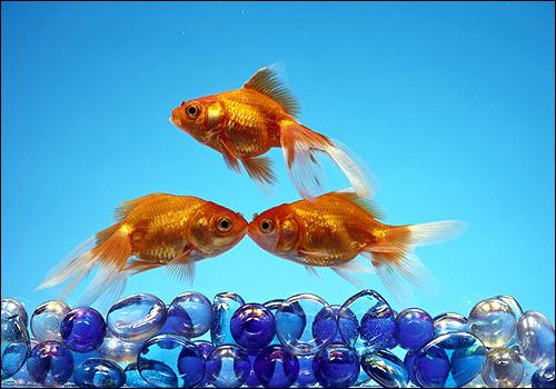 Золотые рыбки, Фото фотография
