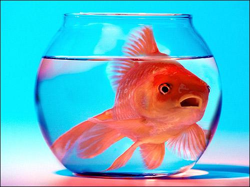 Золотая рыбка в круглом аквариуме, Фото фотография кормление аквариумных рыб