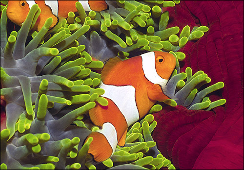 амфиприон оцелярис, рыба-клоун (Amphiprion ocellaris), Фото фотография