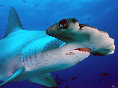 Гигантская акула-молот (Sphyrna mokarran) , Фото фотография
