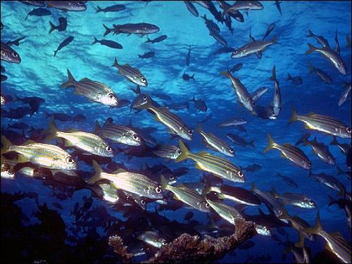 Косяк полосатых рыбок, Фото фотография