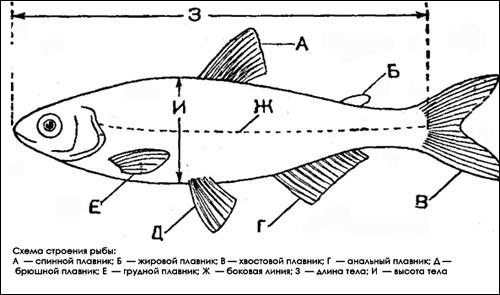 Схема строения рыбы, Рисунок картинка