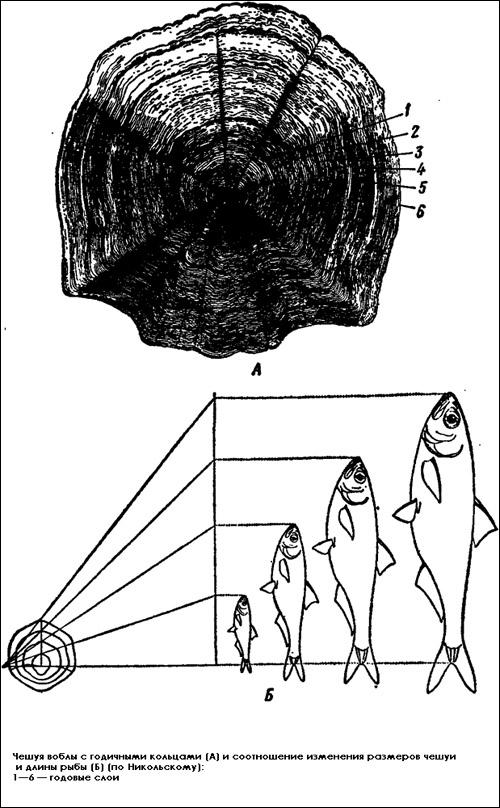 Чешуя воблы с годичными кольцами, Рисунок картинка