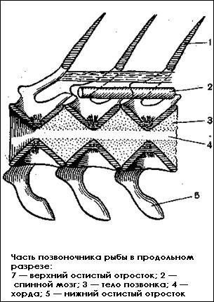 Часть позвоночника рыбы в продольном разрезе, Картинка рисунок