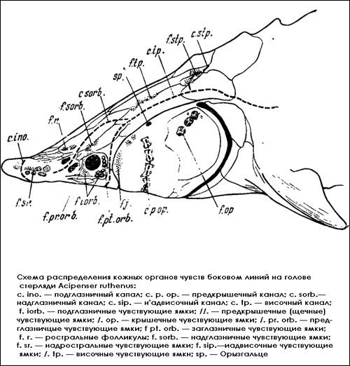 Схема распределения кожных органов чувств боковой линии на голове стерляди, Рисунок картинка