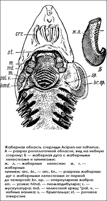 Жаберная область стерляди, Рисунок картинка