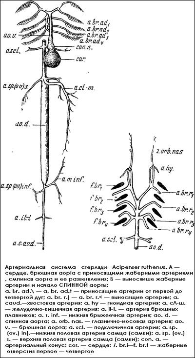 Артериальная система стерляди, Рисунок картинка