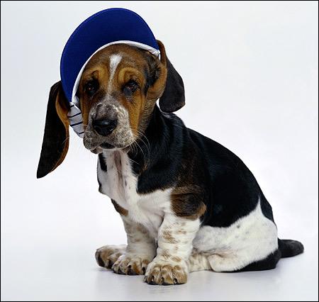 Щенок бассета, бассет-хаунд, Фото фотография собаки картинка