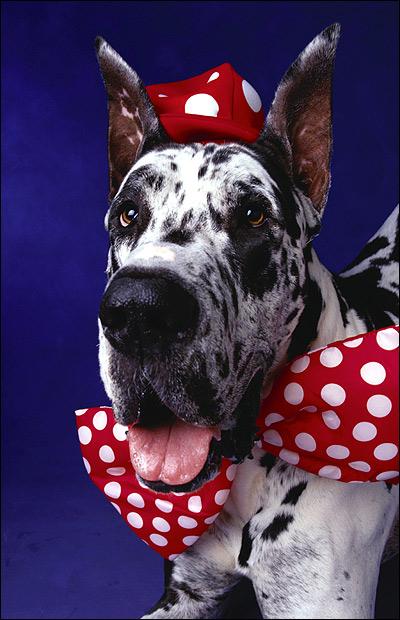 Немецкий дог, Фото фотография собаки картинка
