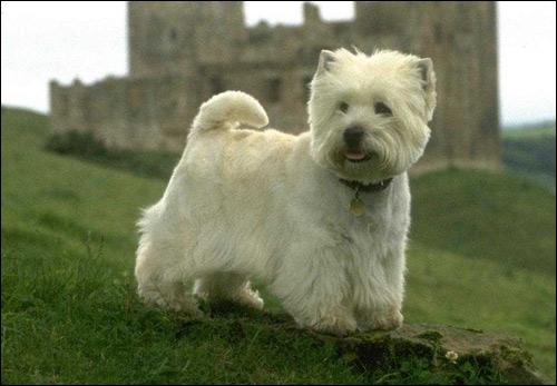 Вестик, вест-хайленд-вайт-терьер, уайт-терьер, Фото фотография собаки картинка