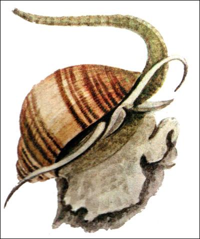 Улитка ампулярии (Ampullaria), Рисунок картинка