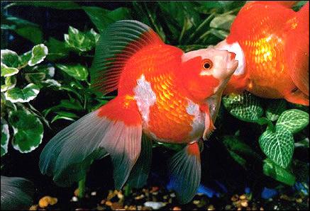 Золотая рыбка рюкин, Фото фотография